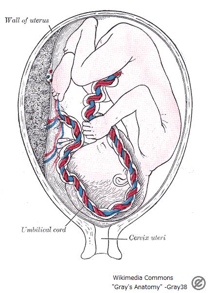 Gray38(public domain)-胎児-2