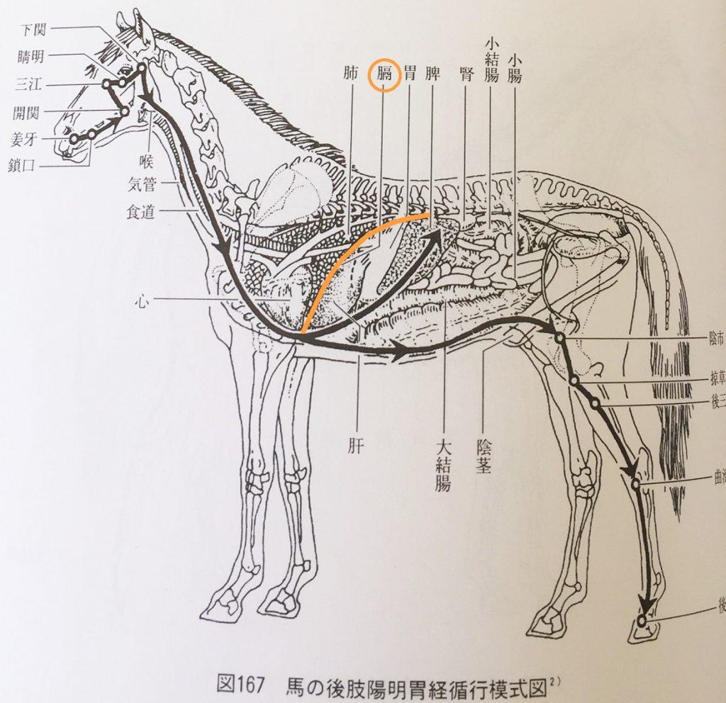 馬の横隔膜