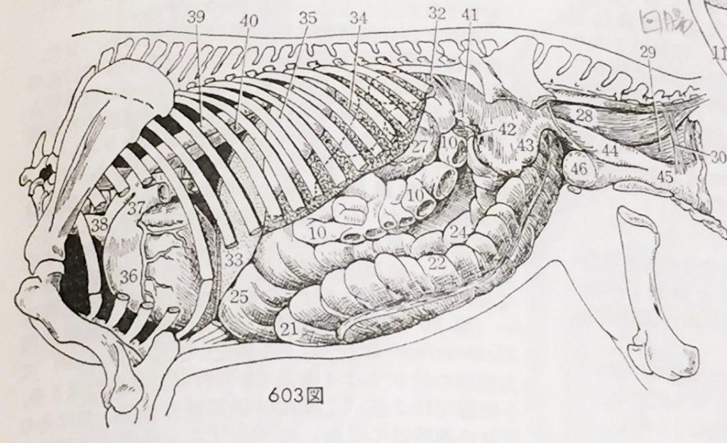 馬の腹部臓器