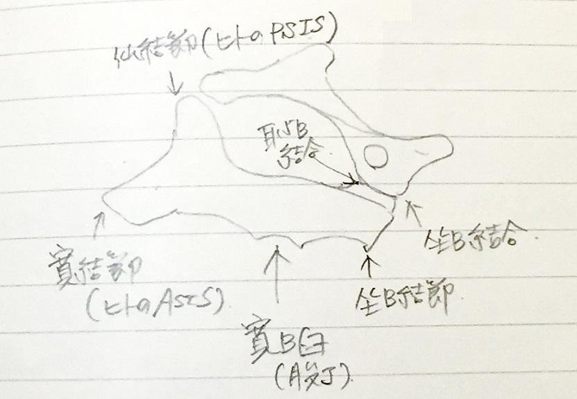 馬の骨盤のノート