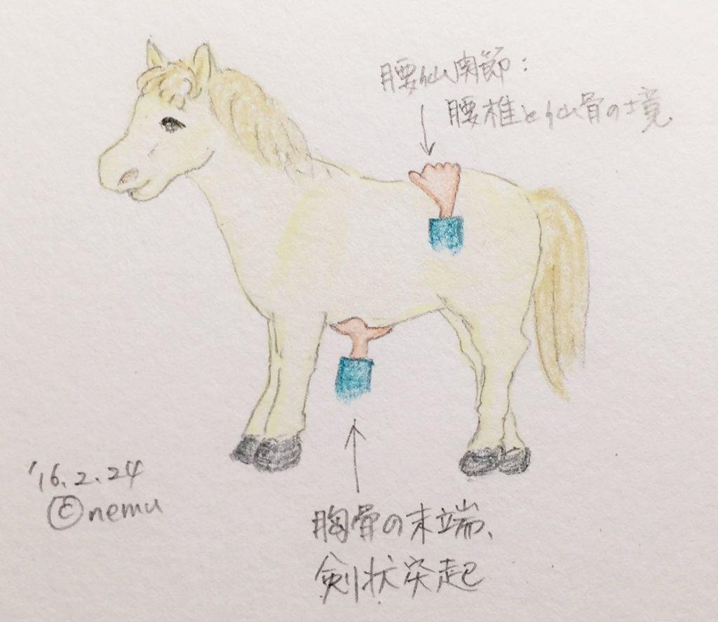 馬の剣状突起と腰仙関節